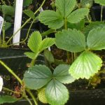 Seattle Tilth Edible Plant Sales for Pacific Northwest gardens