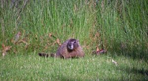 Marmot in Washington State photo by Belle Unruh CC3.0