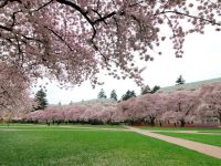 Where to view cherry blossom trees in Seattle