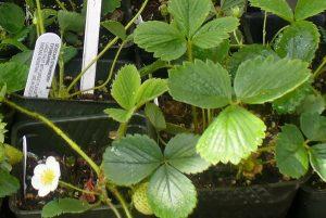 Strawberry plant starts photo by Carole Cancler