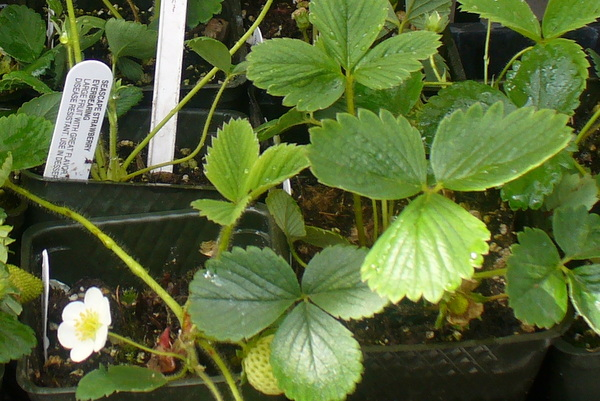 Strawberry plant starts photo by Carole Cancler