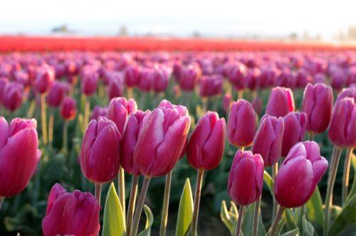 Washington tulip field