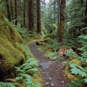 mossy forest path through trees and ferns