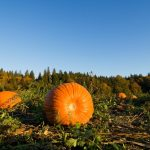 Where to find u-pick pumpkin patches and farm stands