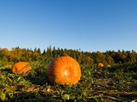 Where to find u-pick pumpkin patches in Western Washington
