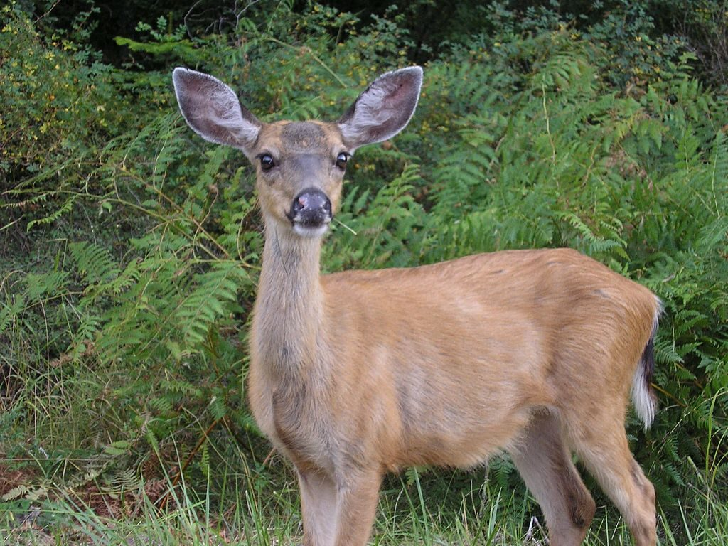 Deer (Odocoileus species) in Washington State photo by Ted Kimble CC2.0
