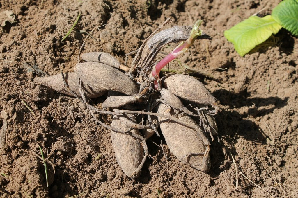 dahlia tuber plant sale