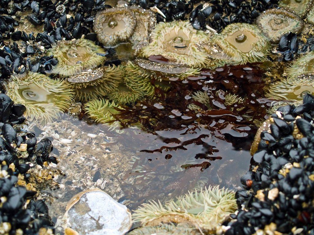 Sea Anemones at the Beach