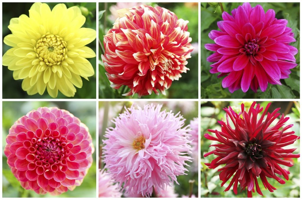 Dahlia flower varieties