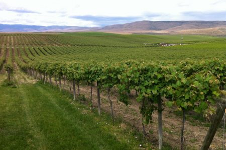 Red Willow Vineyard in the Washington wine region of the Yakima Valley photo by Agne27 (CC3)