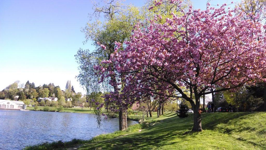Cherry blossom trees Lake Washington near Stan Sayres park