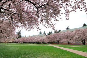 Cherry blossom trees photo from Microsoft Clipart