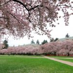 Where to see cherry blossom trees in Seattle