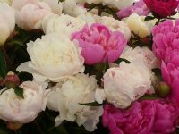 Peonies at Seattle farmers markets photo by Carole Cancler.
