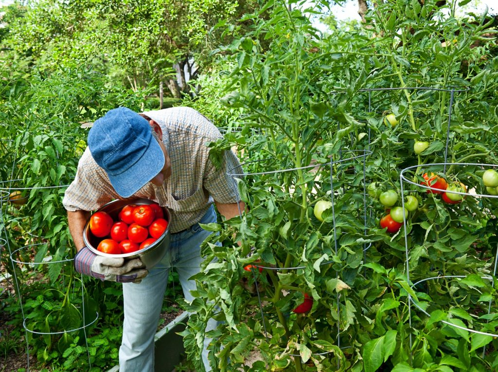 picking tomatoes from the vine