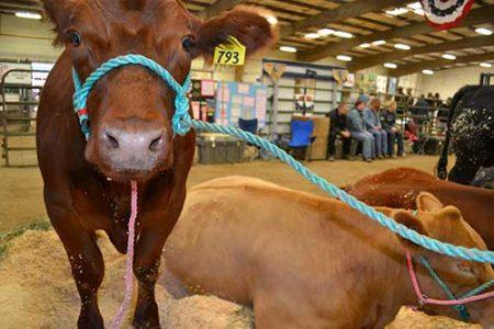 Kittias County Fair animals