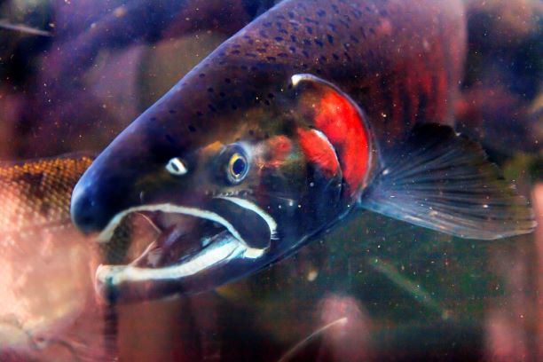 Salmon at Issaquah hatchery