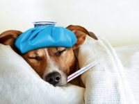 Sick ill dog photo by damedeeso - DepositPhotos.com