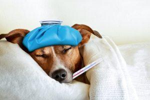 Sick ill dog photo by damedeeso - DepositPhotos.com