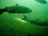Ballard Chittenden Locks fish (photo By Rainer Halama)