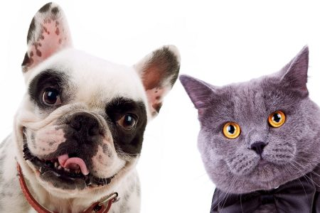 grey cat and french bull dog