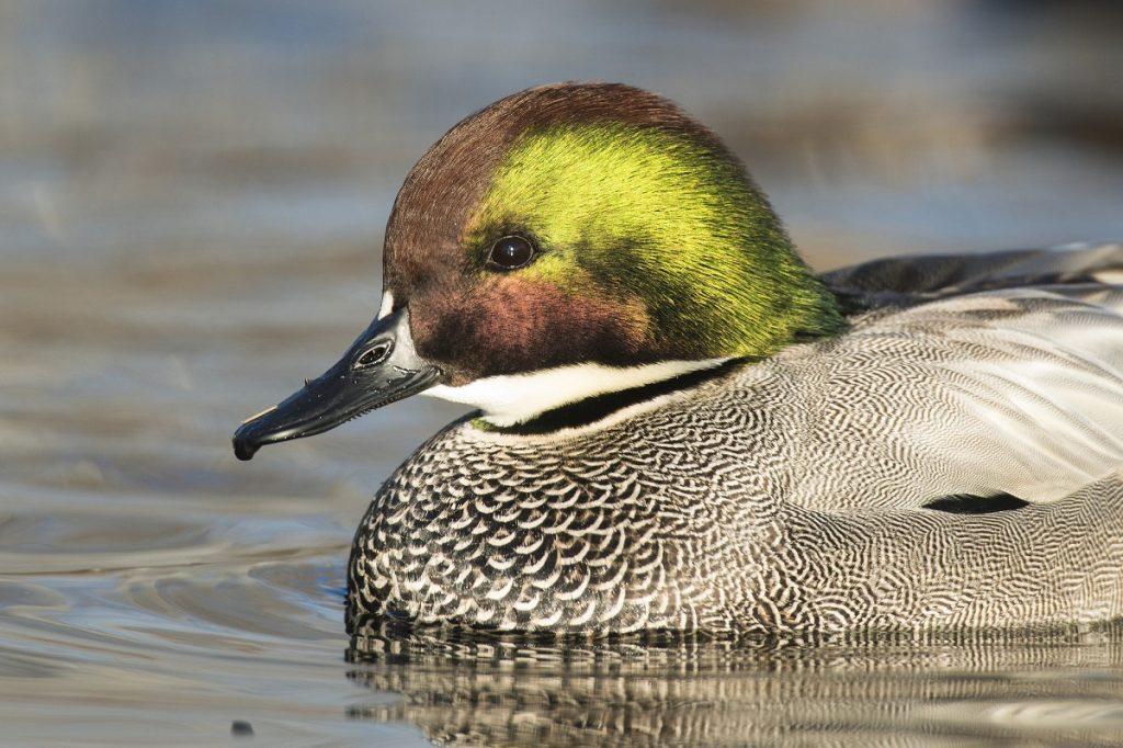 Drake Falcated duck. Photo by schlag - DepositPhotos.com