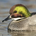 Drake Falcated duck. Photo by schlag - DepositPhotos.com