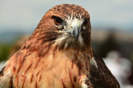Red Tailed Hawk - DepositPhotos.com