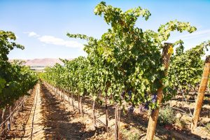 Grapevines in the Red Mountain vineyard, Benton County, Washington State - DepositPhotos.com