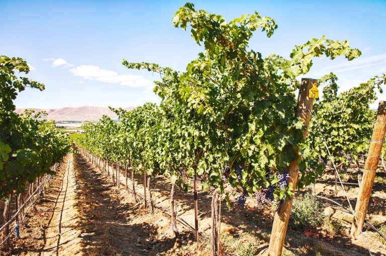 Grapevines in the Red Mountain vineyard, Benton County, Washington State - DepositPhotos.com