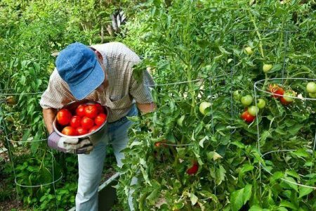 Picking tomatoes in the vegetable garden