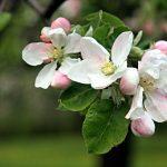 Getaway: Wenatchee Apple Blossom Festival (150 miles)