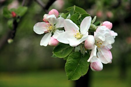 apple blossoms - DepositPhotos.com