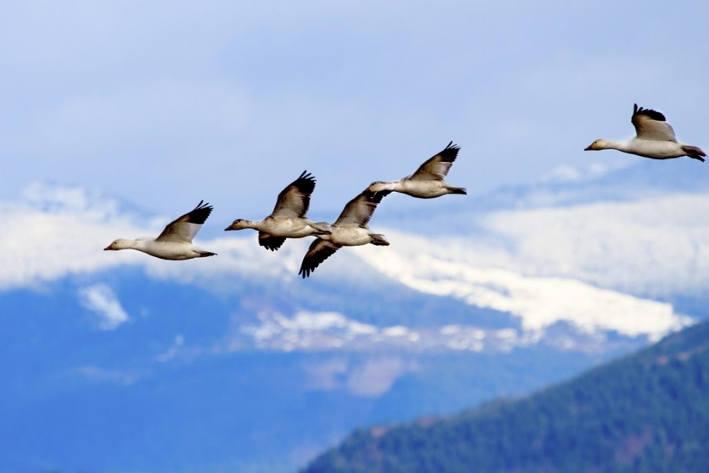 Snow Geese Flying by mountains in Skagit Valley Washington