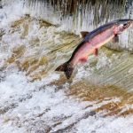 Salmon spawning season in Western Washington