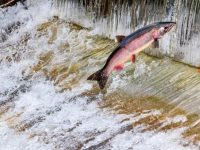 Spawning salmon jumps the fish ladder at Issaquah Hatchery