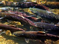 Migrating fish during the fall salmon spawning season