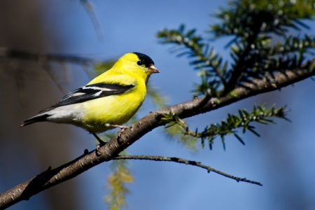 Yellow American Goldfinch
