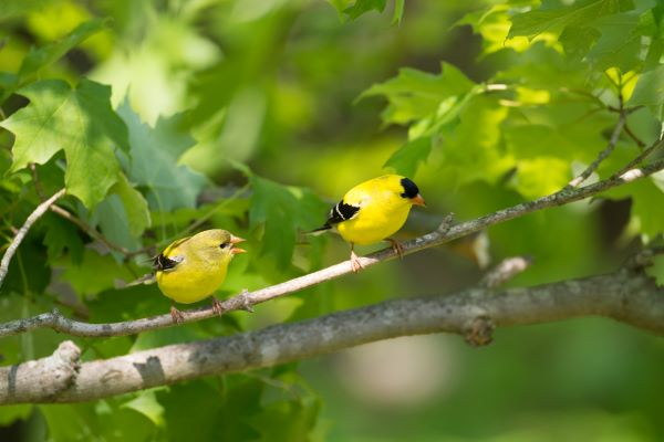 American yellow goldfinch male female pair