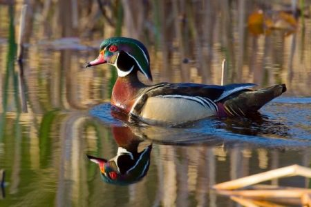Wood duck in natural habitat