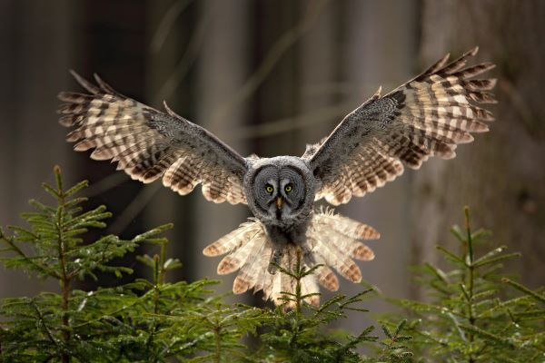 Gray owl in flight