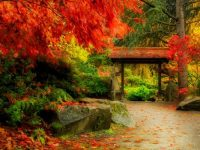 Seattle Japanese Garden maple trees in fall