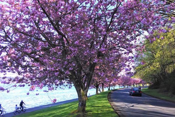 Cherry blossom trees along Lake Washington Blvd S photo by Carole Cancler