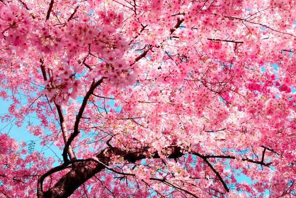 Virtual And Driving Tours To See Cherry Blossom Trees In Seattle
