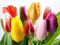 bouquet of colorful tulips