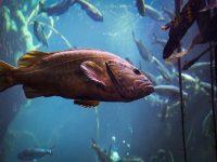 Vermillion Rockfish (Sebastes miniatus)