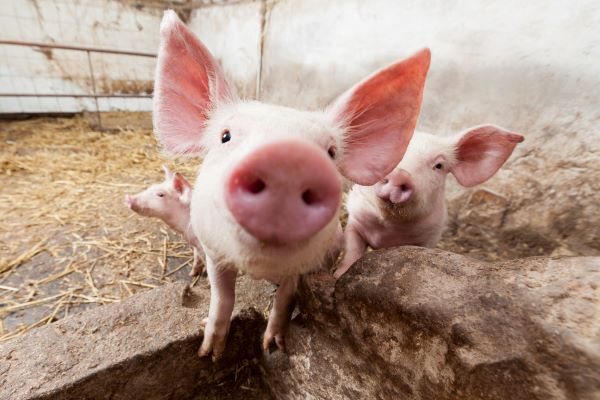 young pigs on a farm