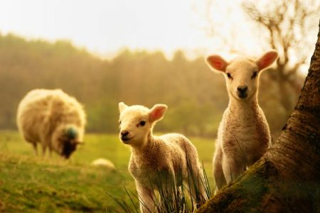 Sheep and lambs in a field