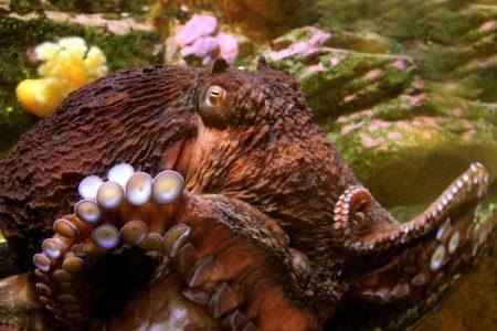 Seattle Aquarium Octopus