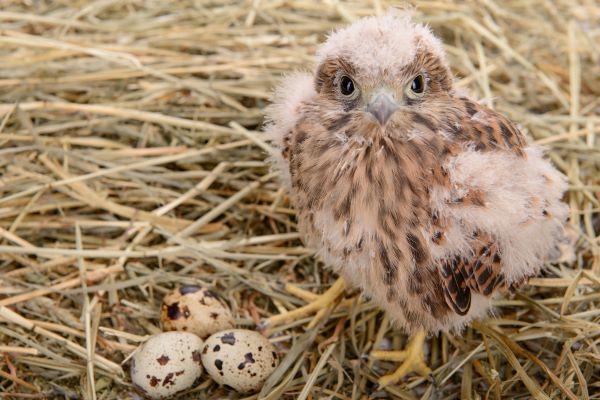 falcon bird nest and eggs